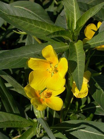 Ludwigia grandiflora by Olivier Pichard. Licencia Creative Commons.
