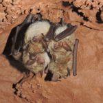 Myotis emarginata